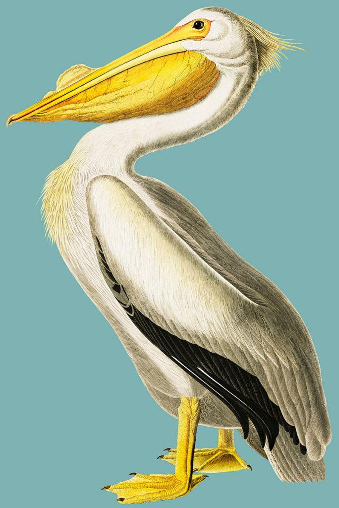 en stor pelikan på turkis bakgrunn